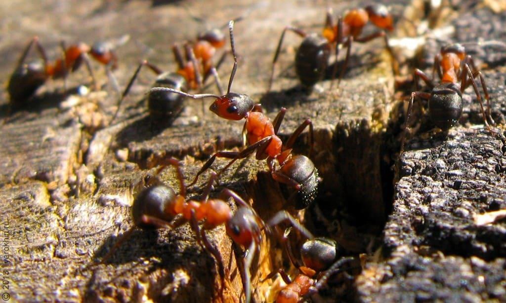 Большие лесные муравьи