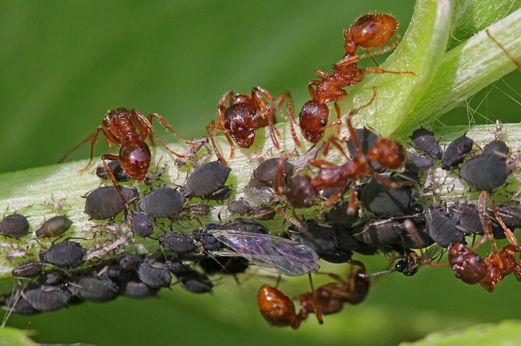 Бурые луговые муравьи